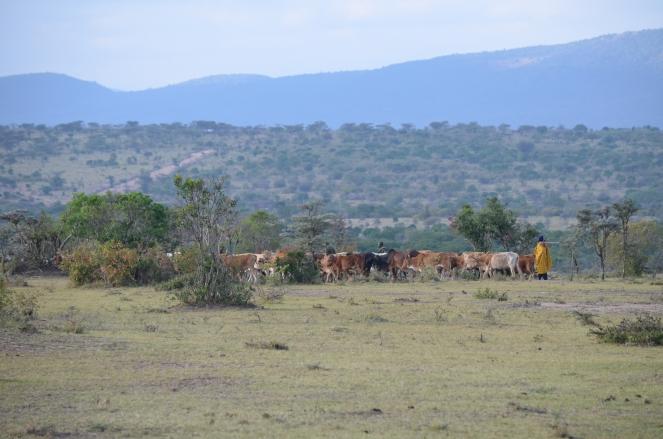 Cows in the Mara